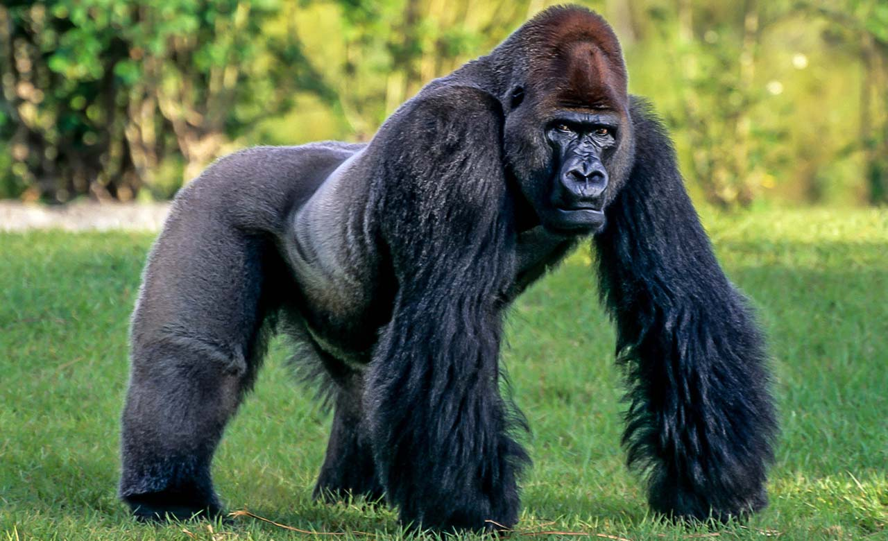 Gorille africain